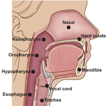 Anatomy of the throat and esophagus