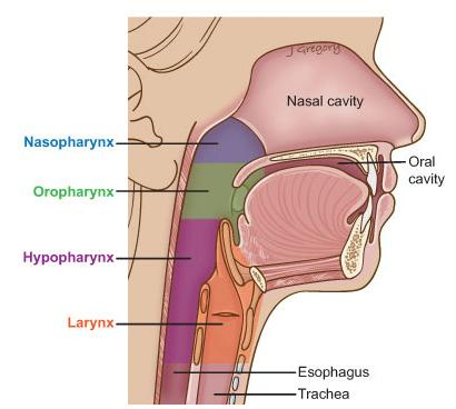 Anatomy Of Cervical Esophageal Cancer Headandneckcancerguide