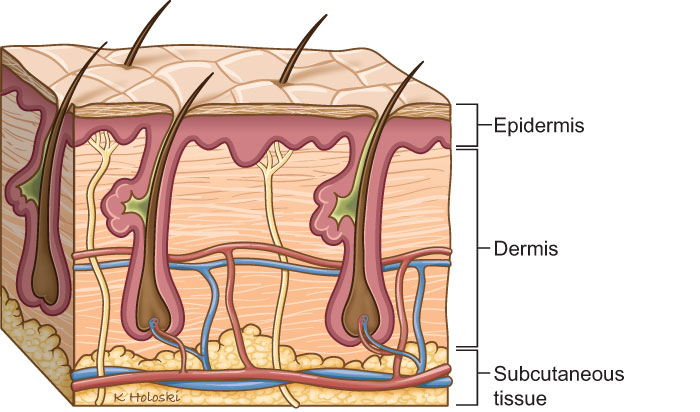 how the skin is involved with