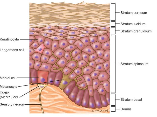 epidermal tissue For example, the skin is composed of a layer of epithelial tissue (epidermis) that is supported by a layer of connective tissue it protects the internal structures of the body from damage and dehydration epithelial tissue also helps to protect against microorganisms.