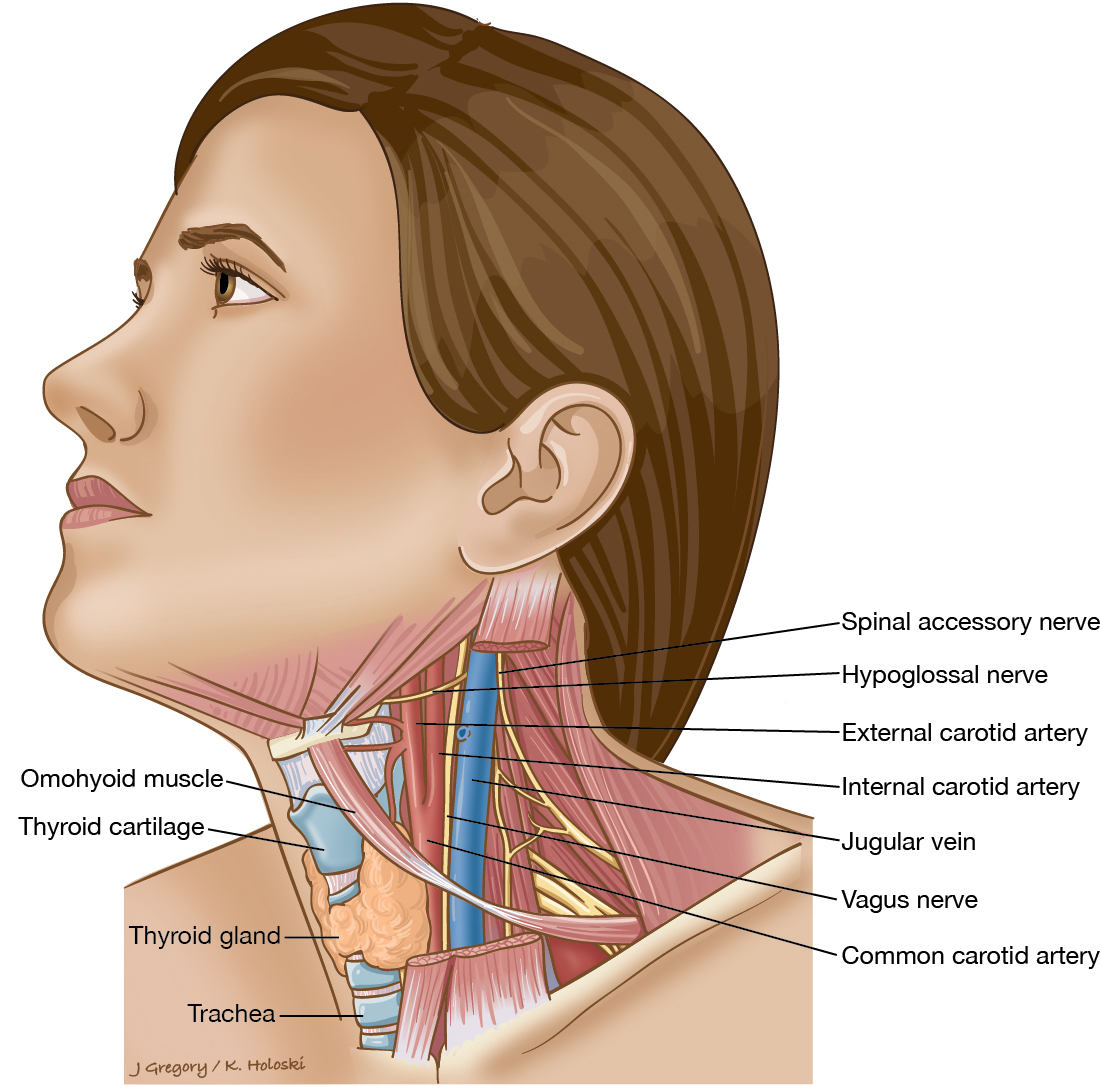 Neck Cancer Anatomy Headandneckcancerguide